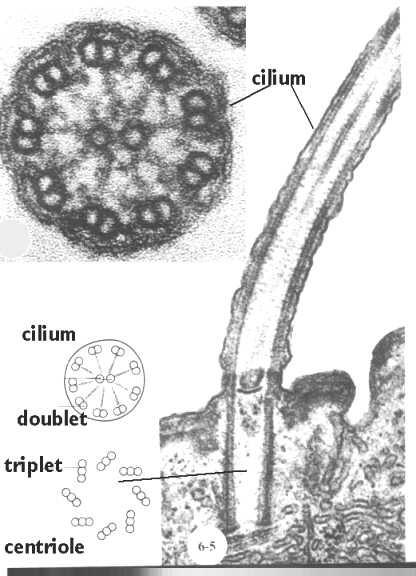 Cilia flagella and centrioles Celebrate Cytochemistry