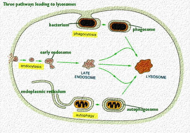 an introduction to the organelle the mitochondrion Organelle information including symptoms, causes, diseases, symptoms, treatments, and other medical and health issues.