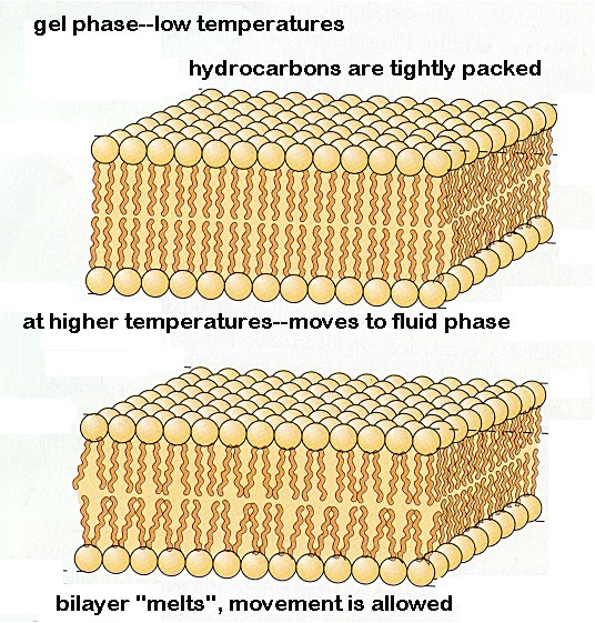 effect of temperature on cell membrane Llso, g and woodntmy, j w effect of temperature on the membrane potential of frog muscle fibers j cell  local temperature on the resting membrane .